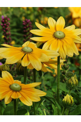 Rudbeckia hirta Green Eyes Seeds