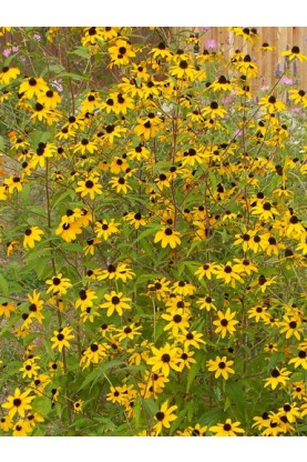 Rudbeckia triloba Brown Eyed