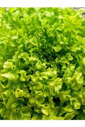 Salad Bowl Green Lettuce