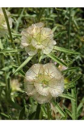 Scabiosa stellata Drumsticks Seeds