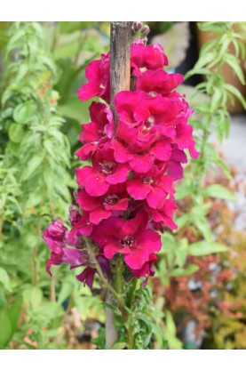Snapdragon Chantilly Purple