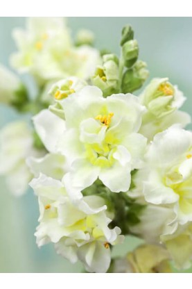 Snapdragon Madame Butterfly Ivory