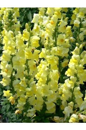 Snapdragon Madame Butterfly Yellow
