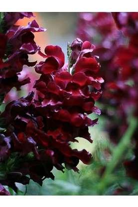 Snapdragon Maryland Royal Burgundy