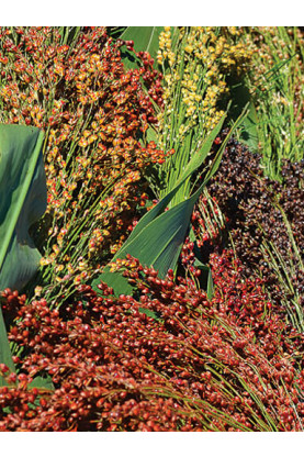 Sorghum Colored Uprights Seeds - Broom Corn