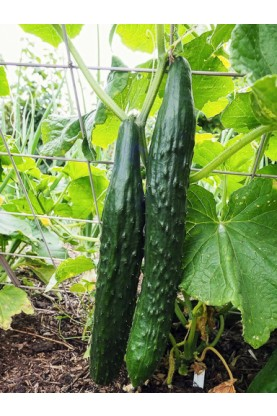 Suyo Long Cucumbers