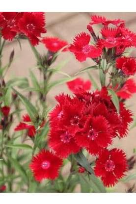 Sweet William Rockin Red - Dianthus