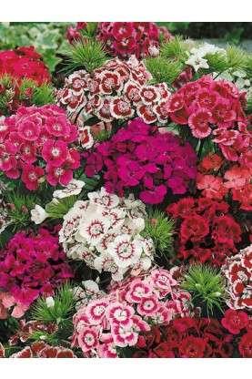Sweet William Super Duplex Mix - Dianthus barbatus