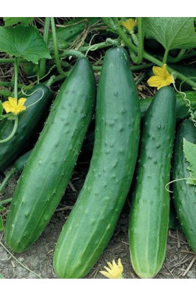 Tendergreen Burpless Cucumbers