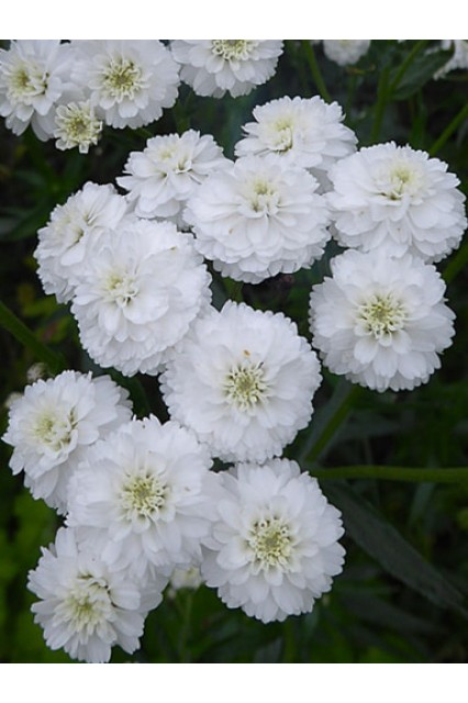 Yarrow - Achillea ptarmica The Pearl Superior Seed to grow gorgeous white filler flowers or bedding plants.