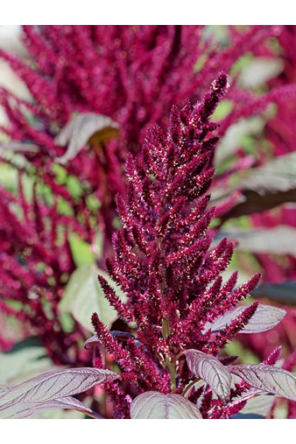 Amaranthus Archie's Red Spike Seeds