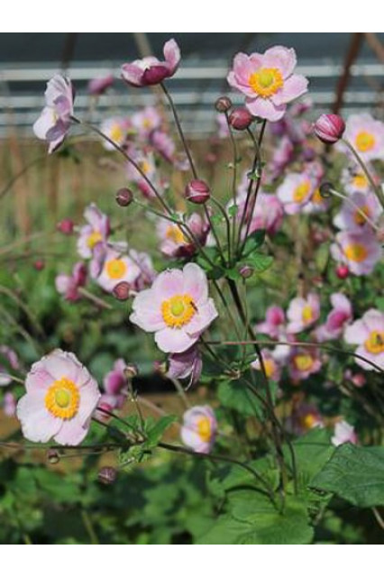 Anemone japonica hupehensis Seeds