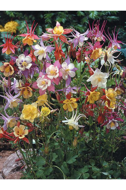 Aquilegia clematiflora Green Apples Columbine Seeds
