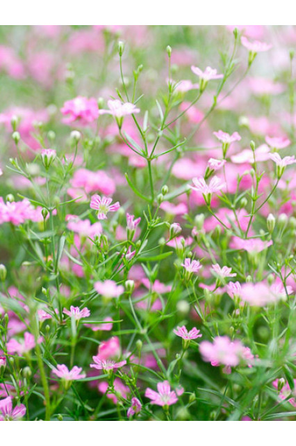 Baby's Breath Rosy - Gypsophila Seeds