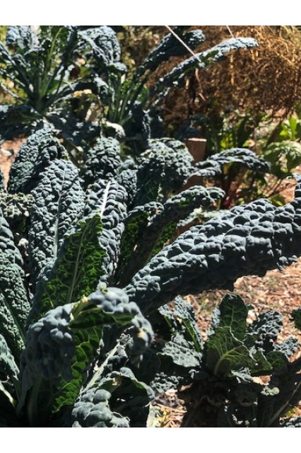 Black Magic Kale Seed