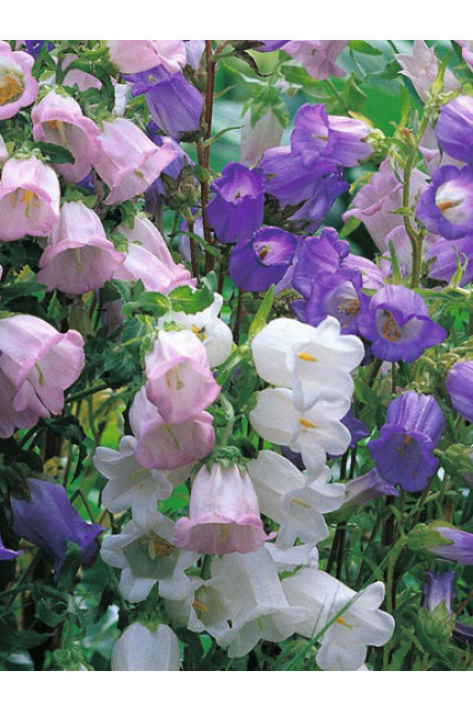 Campanula medium Single Series - Bellflower