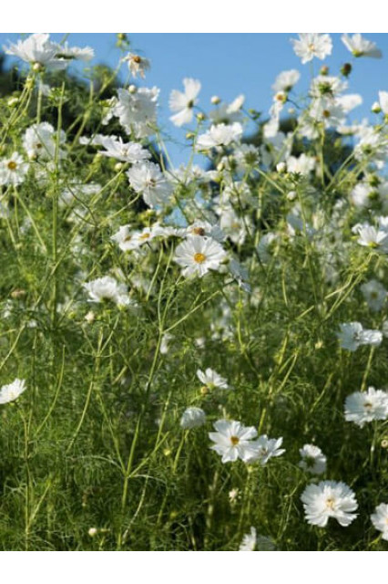 Cosmos Psyche White Seeds