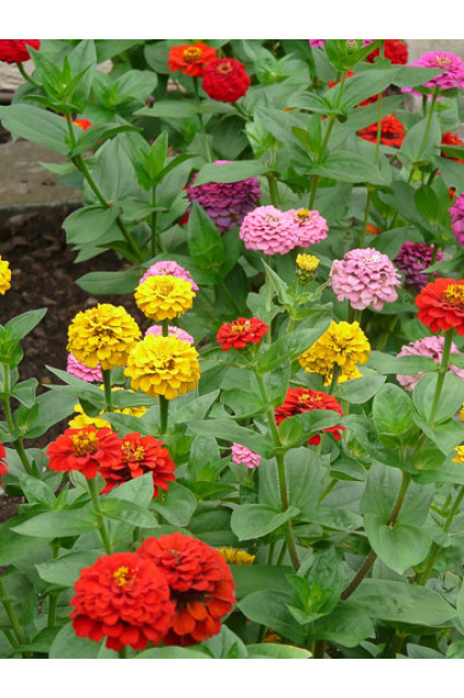 Cut & Come Again Mix Zinnias