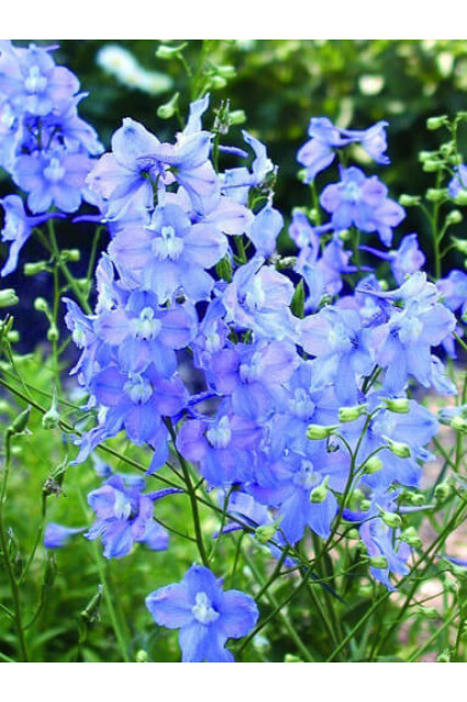 Delphinium belladonna Connecticut Yankee Mix Seeds