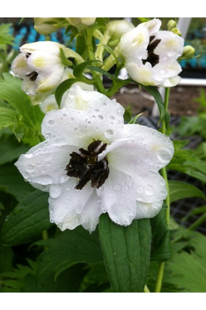 Delphinium Magic Fountain White with Dark Bee
