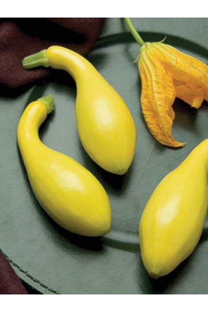 Gold Summer Crookneck Squash