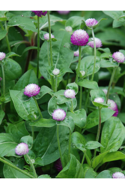 Gomphrena Audray Bicolor Rose Seeds