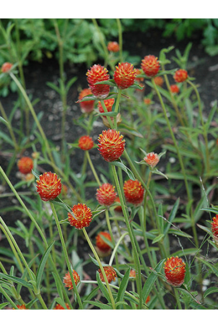 Gomphrena haageana QIS Orange Seeds