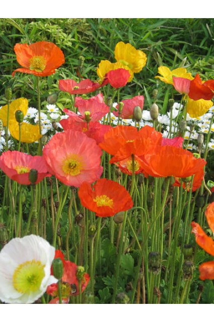 Champagne Bubbles Mix - Iceland Poppy Seeds - Papaver nudicale