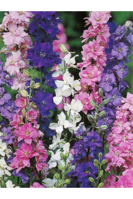 Larkspur Giant Imperial Mix