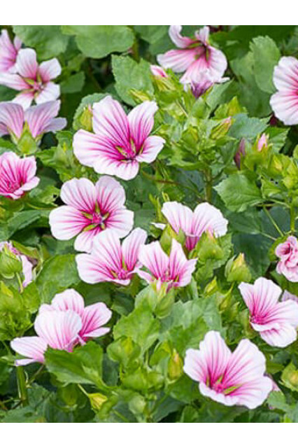 Malope Queen Pink Seeds