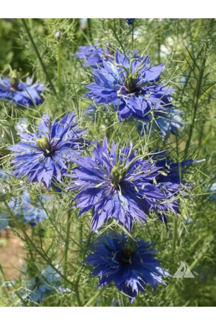 Nigella Miss Jekyll Dark Blue
