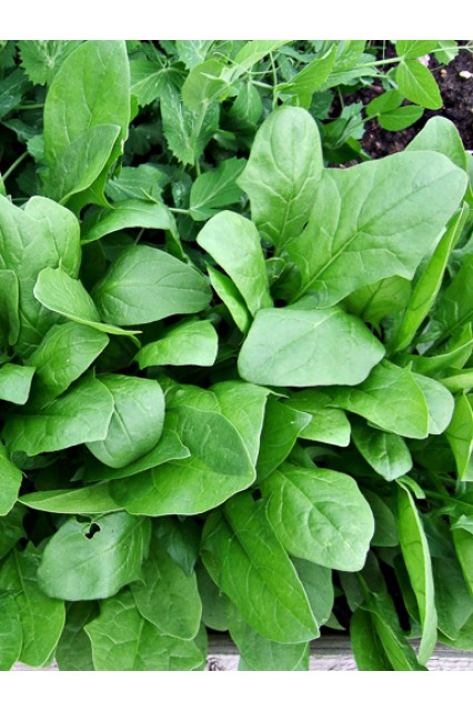 Olympia Spinach