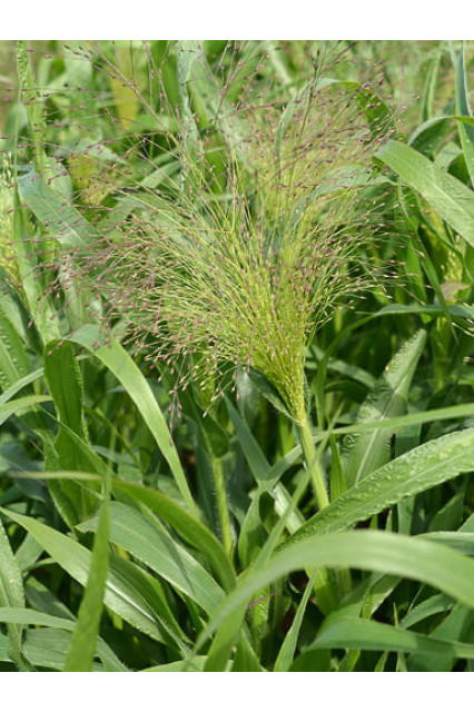 Frosted Explosion Grass Seeds - Panicum