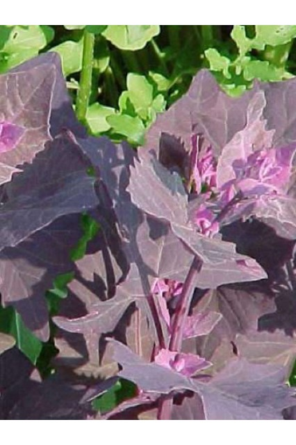 Purple Passion Orach
