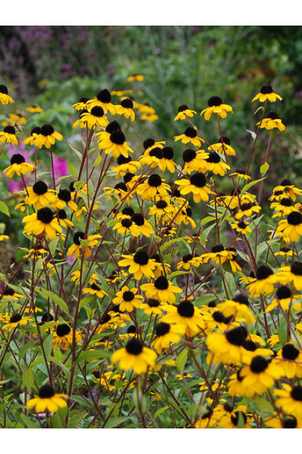 Rudbeckia triloba Blackjack Gold Seeds