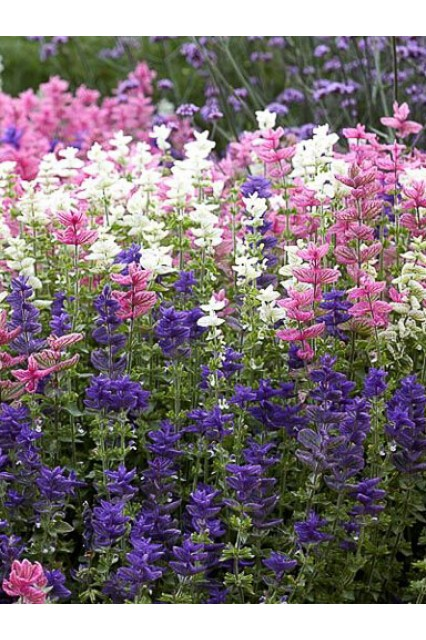 Salvia viridis Three Color Mix Seeds
