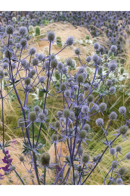 Sea Holly Blue Glitter - Eryngium planum
