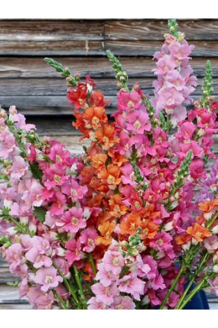 Snapdragon Chantilly Mix