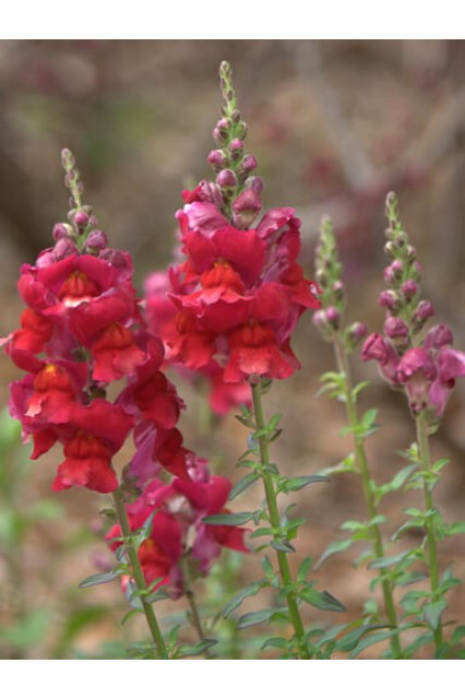 Snapdragon Madame Butterfly Red