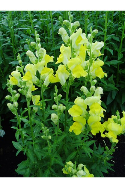 Snapdragon Rocket Gold