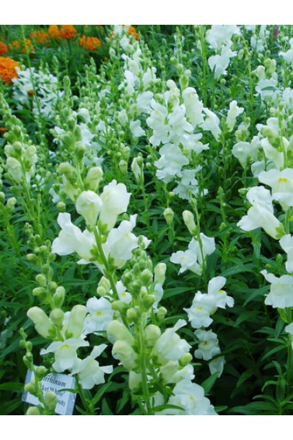 Snapdragon Rocket White