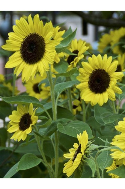 Sunflower Sunrich Lemon Summer Seeds