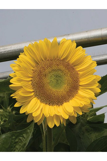 Sunflower Sunrich Lime Seeds