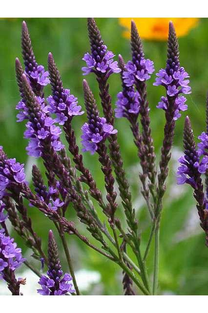 Verbena hastata American Violet Seeds