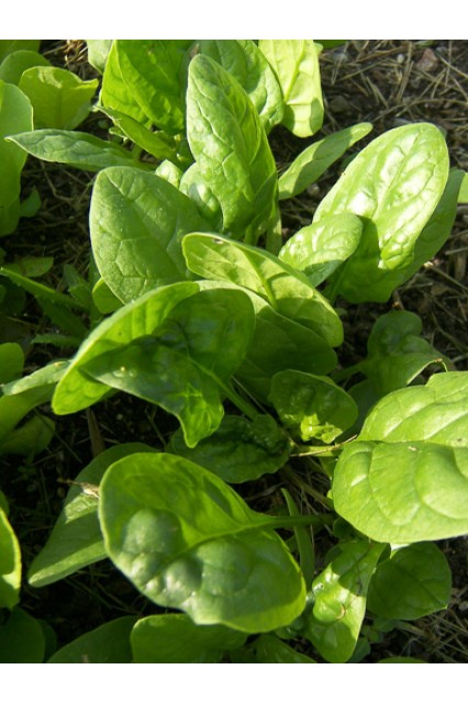 Whale Spinach