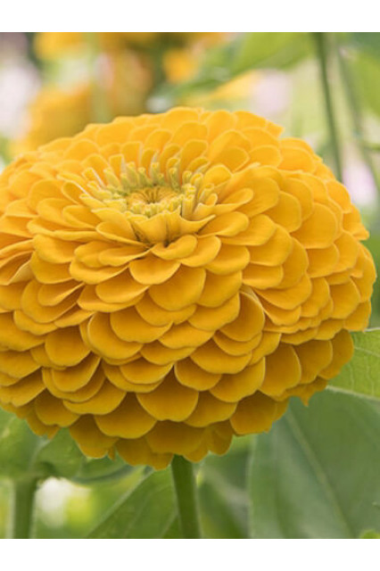 Oklahoma Golden Yellow Zinnia Seeds