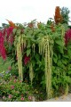 Amaranthus Green Tails Seeds