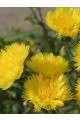 Centaurea Sweet Sultan Yellow Seeds