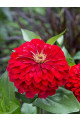 Cut & Come Again Red Zinnia Seeds