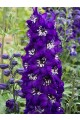 Delphinium Magic Fountain Dark Blue with White Bee
